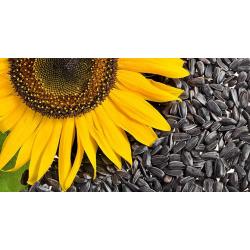 Sončnična semena, surova
